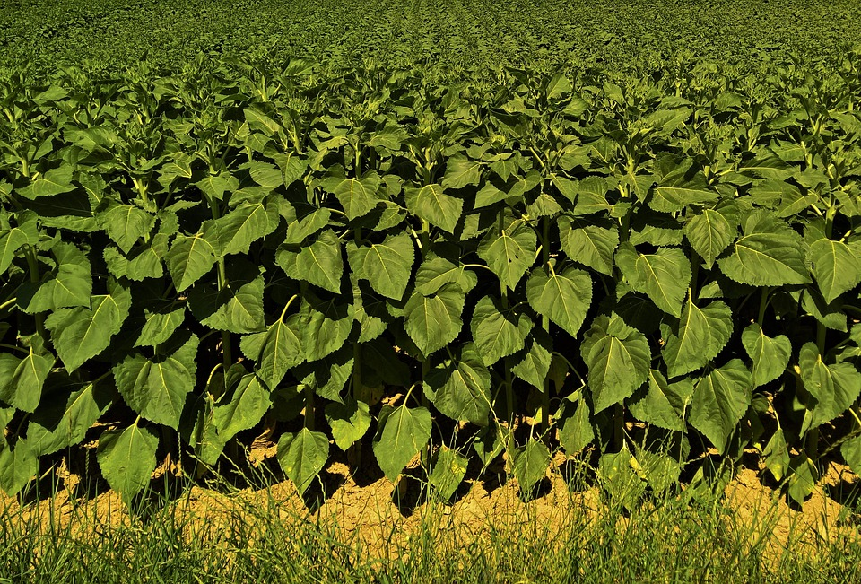 Green, Sunflower, Field, Agriculture, Farm, Food, Crop