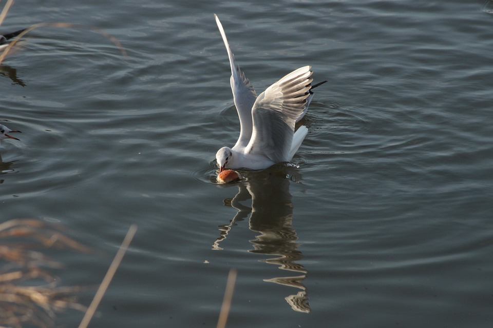 Animals, Seagull, Water, Food, Bird