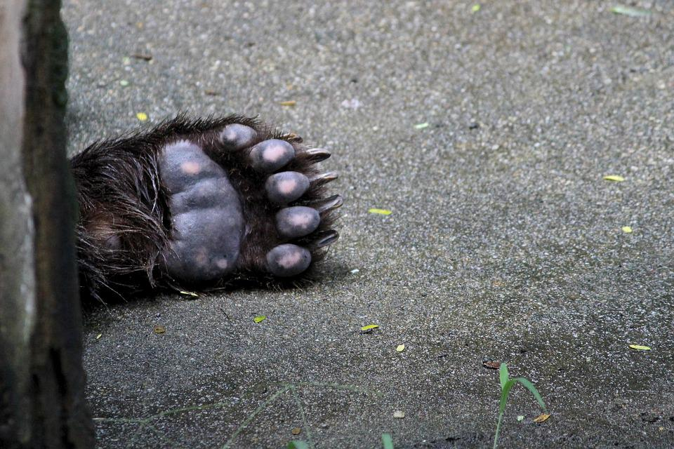 Bear Foot, Bear, Animal, Foot