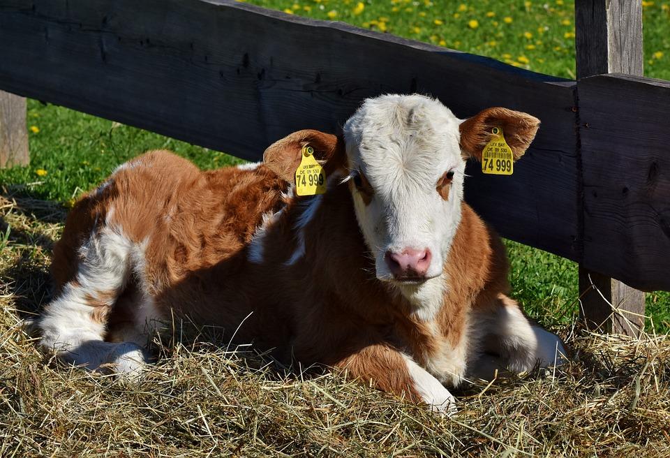 Cow, Calf, Kuhschnauze, Foot, Beef, Ruminant