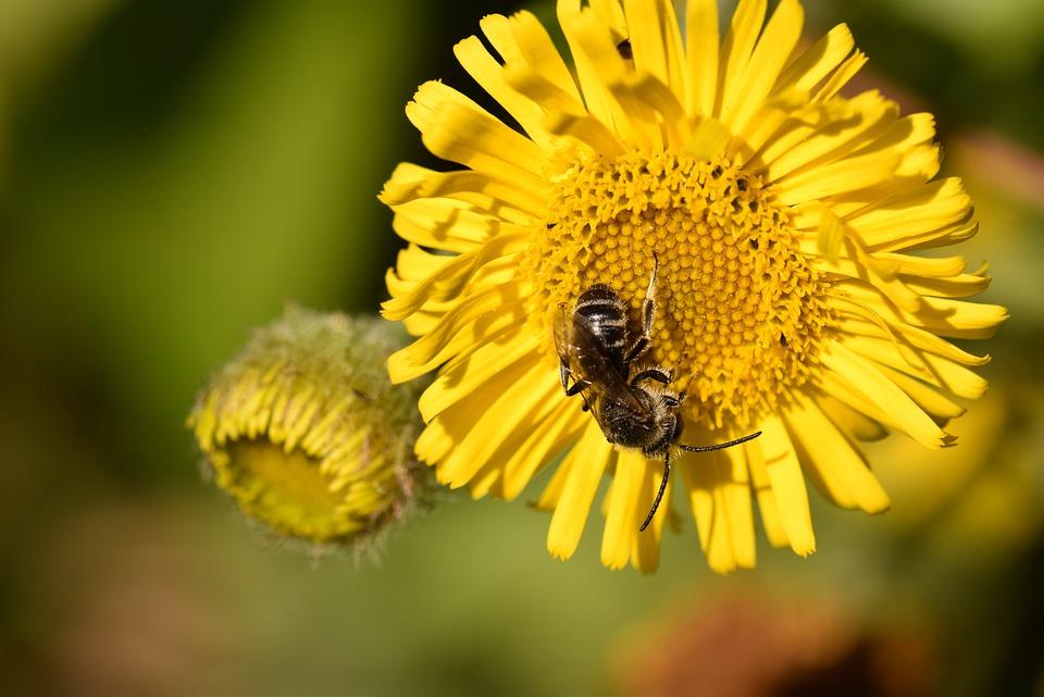 Bee, Bee Wild, Flower, Pollinator, Forage, Nectar