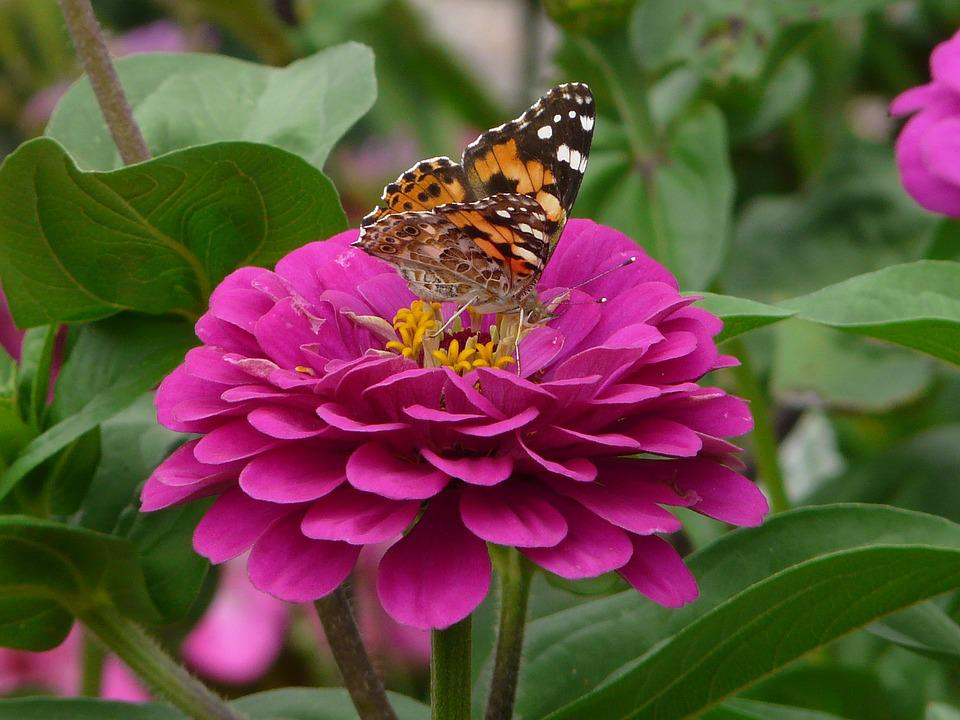 Zinnia, Butterfly, Forage