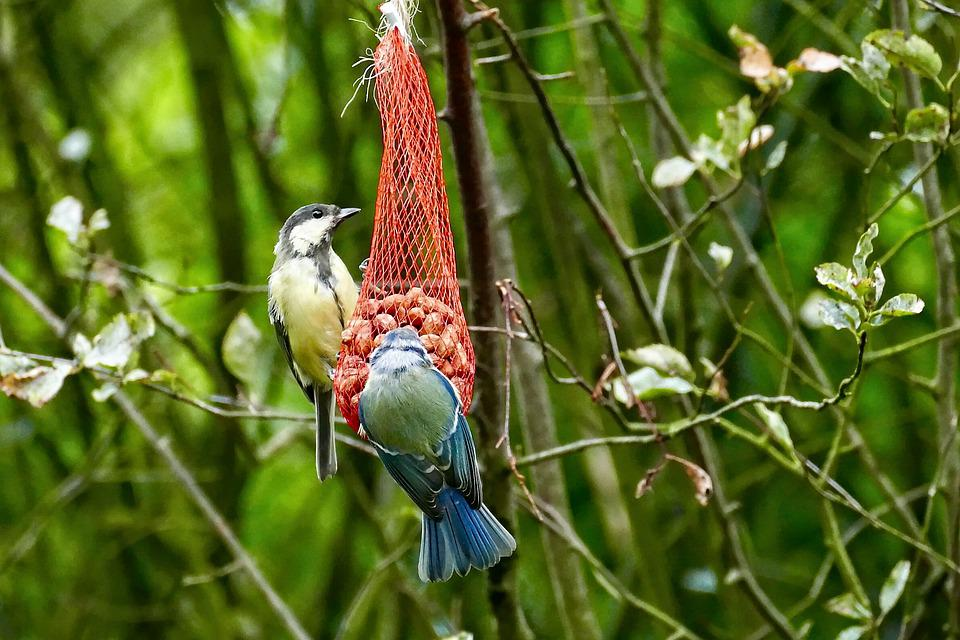 Great Tit, Great Tits, The Birds, Food, Forage, Bird