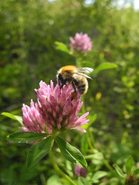 Flower, Bourdon, Forage, Nature, Macro