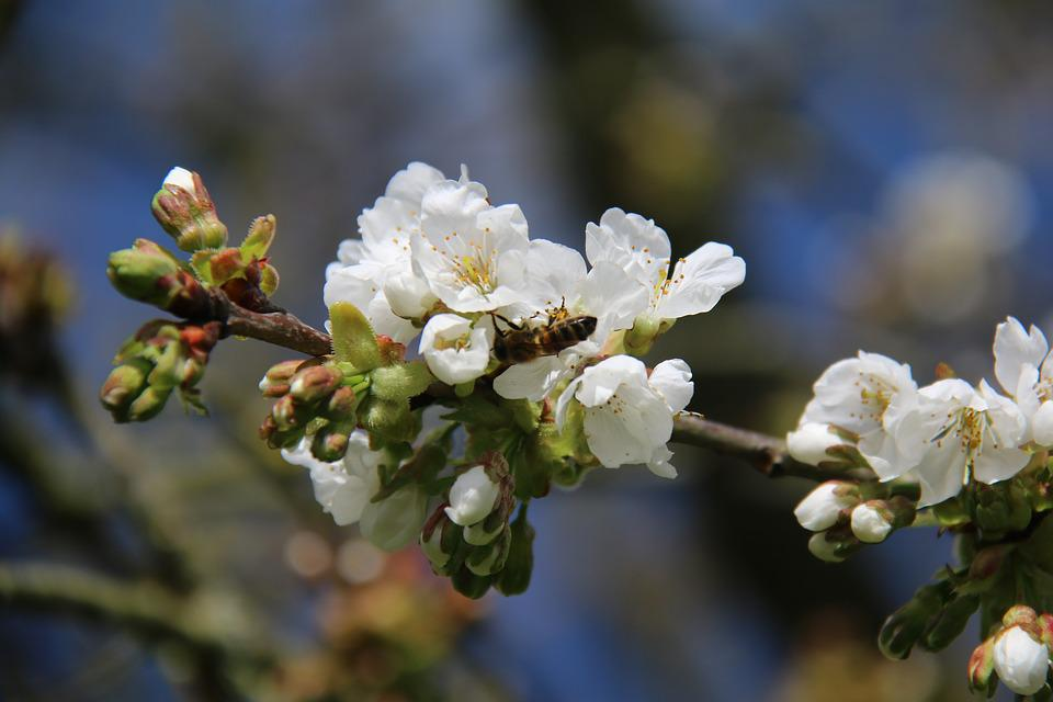 Bee, Cherry, Tree, Flower, Forager, Cherry Blossoms