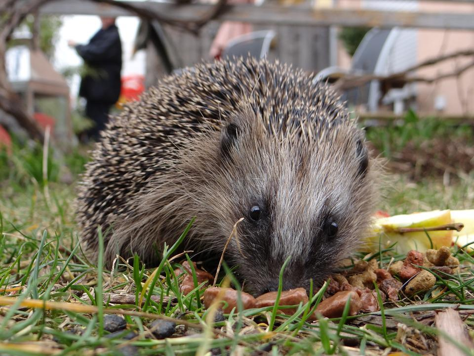 Hedgehog, Garden, Mecki, Spur, Foraging, Animal World
