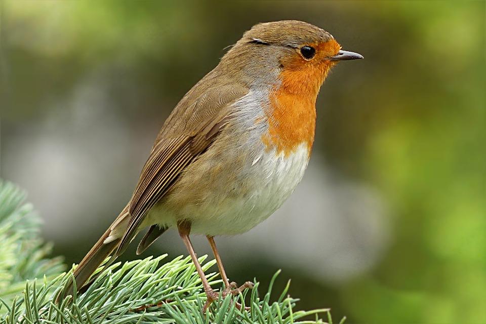 Robin, Erithacus Rubecula, Bird, Garden, Foraging