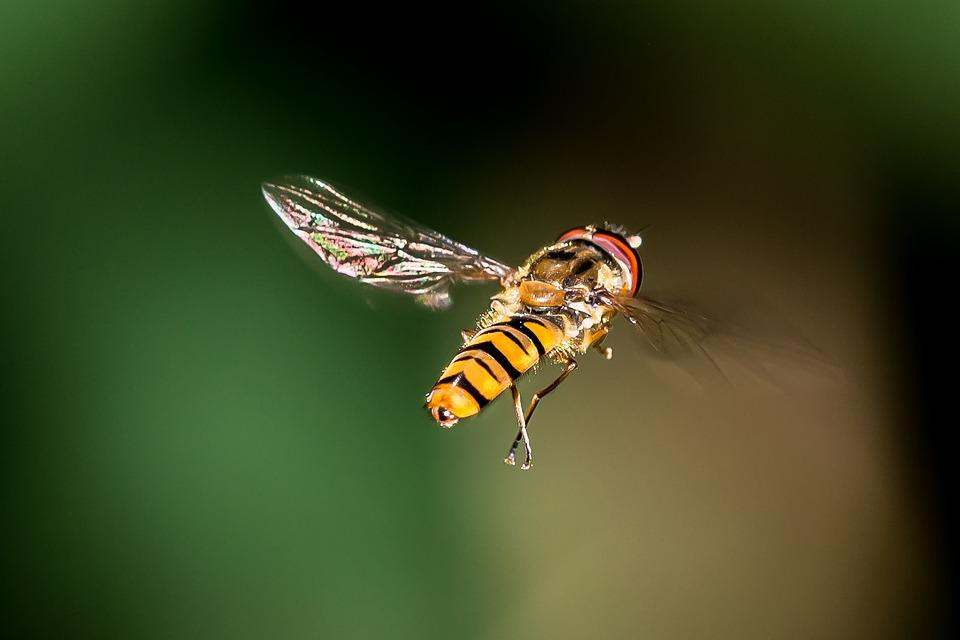 Fly, Bienne, Insect, Frühlingsanfang, Foraging