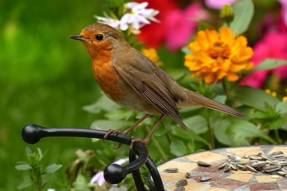 Robin, Erithacus Rubecula, Bird, Foraging, Garden