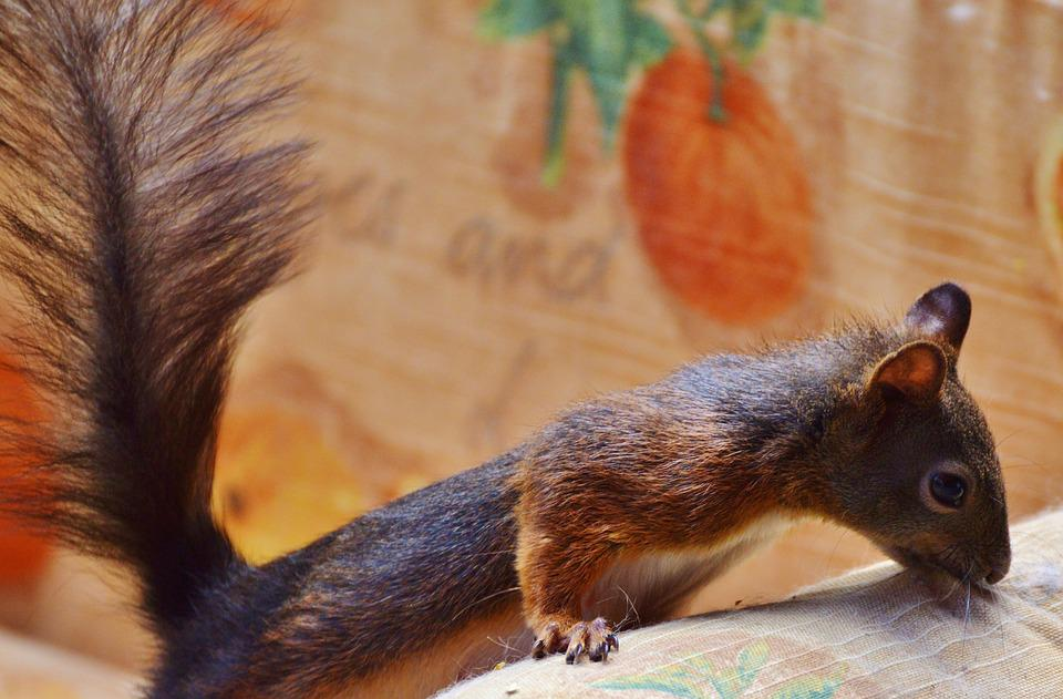 Squirrel, Verifiable Kitten, Rodent, Nager, Foraging