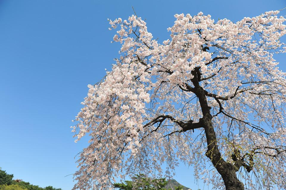 Cherry Blossom, Spring, Sky, Blue Sky, Forbidden City