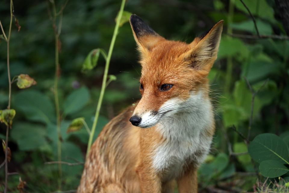 Fox, Predator, Animal, Forest, Nature