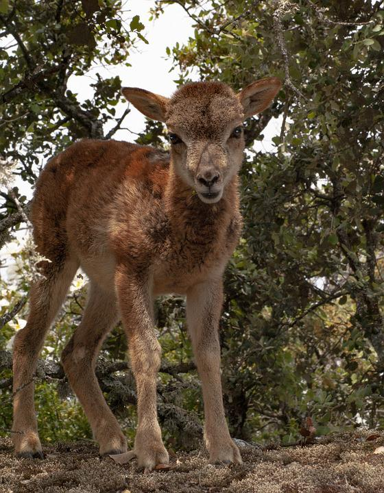 Mouflon, Nature, Animals, Mammal, Wild, Forest