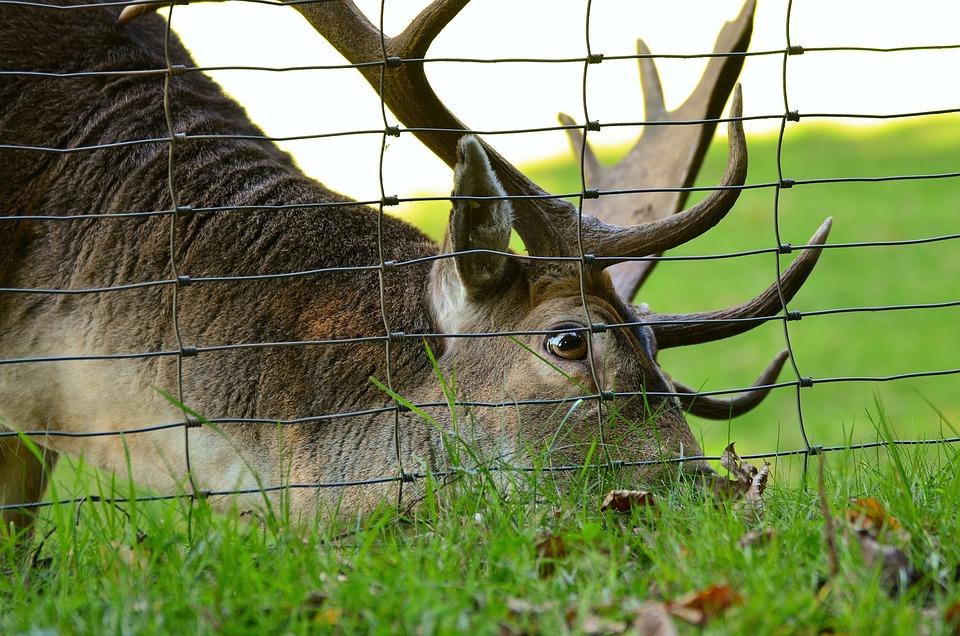 Hirsch, Fallow Deer, Antler, Forest, Nature, Wild
