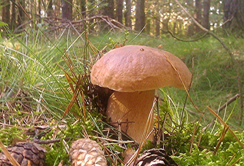 Cep, Mushroom, Moss, Autumn, Forest, Edible