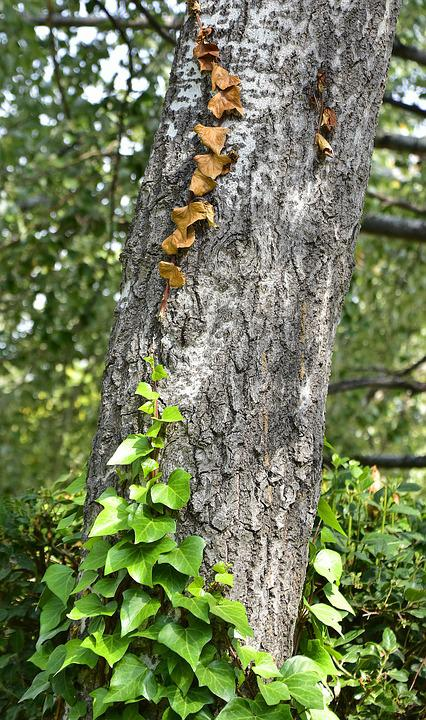 Tree, Trunk, Ivy, Forest, Wood, Leaves, Forests, Bark