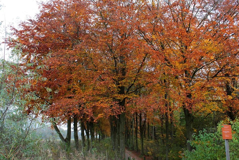 Beech, Fall Colors, Forest, Landscape, Sun, Beukenlaan
