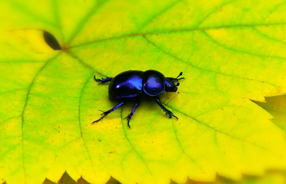 Forest Beetle, The Beetle, Leaf, Antennae, Color