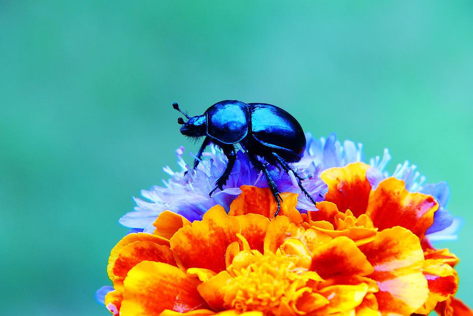 Forest Beetle, The Beetle, Flowers, The Petals, Posts