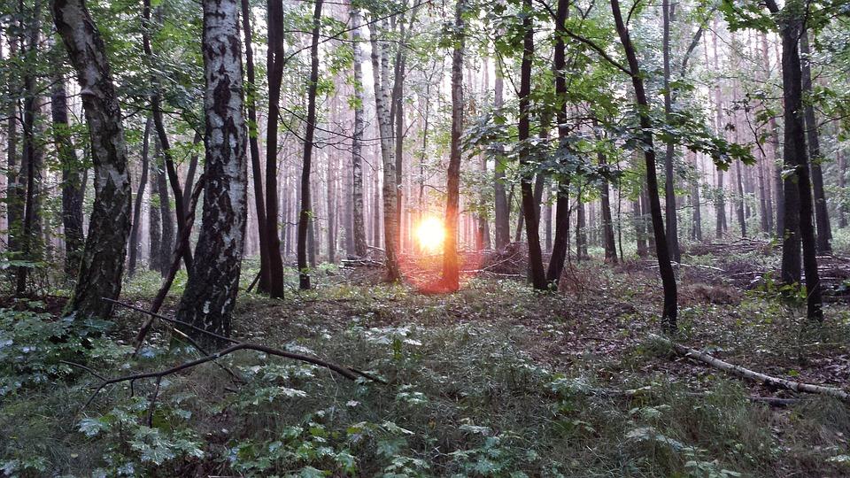 Birch Forest, Forest, Birch, Sunrise, Morning