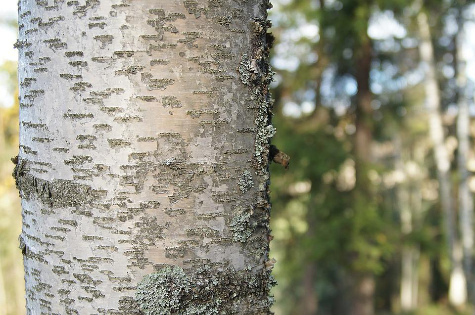 Birch, Stem, Trunk, Forest, Tree, Nature, Plant