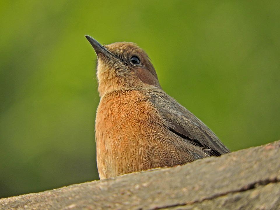 Indian Robin, Bird, Nature, Wildlife, Forest