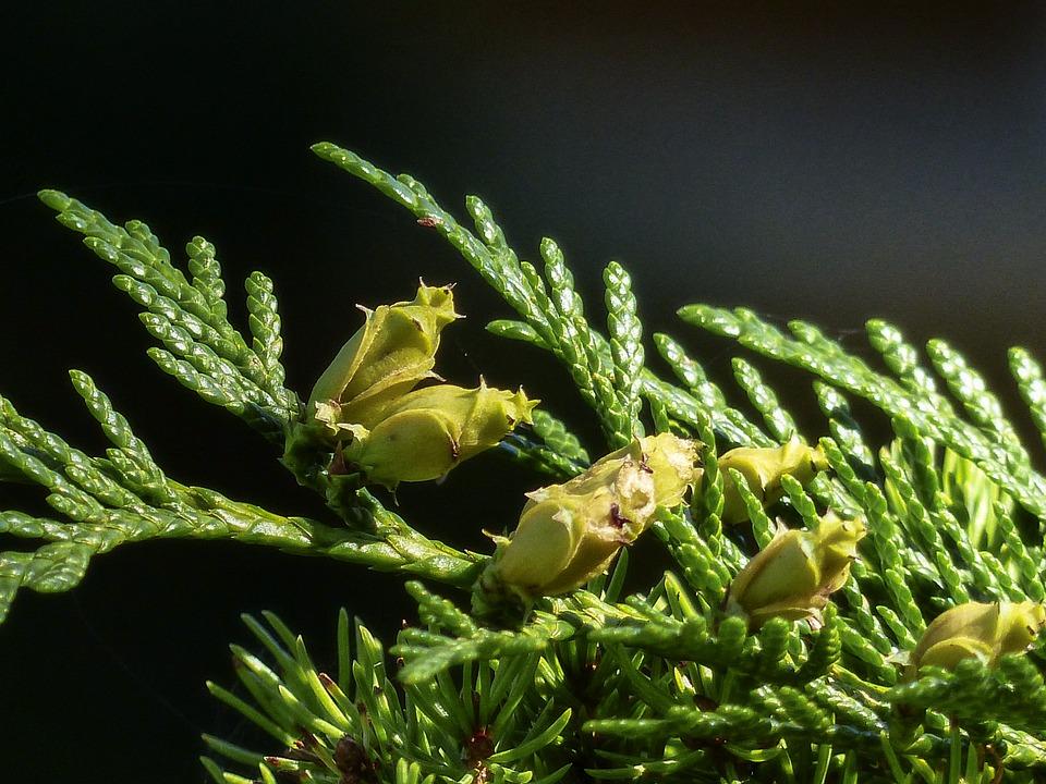 Buds, Blossom, Bloom, Bunch, Cedar, Tree, Forest, Green
