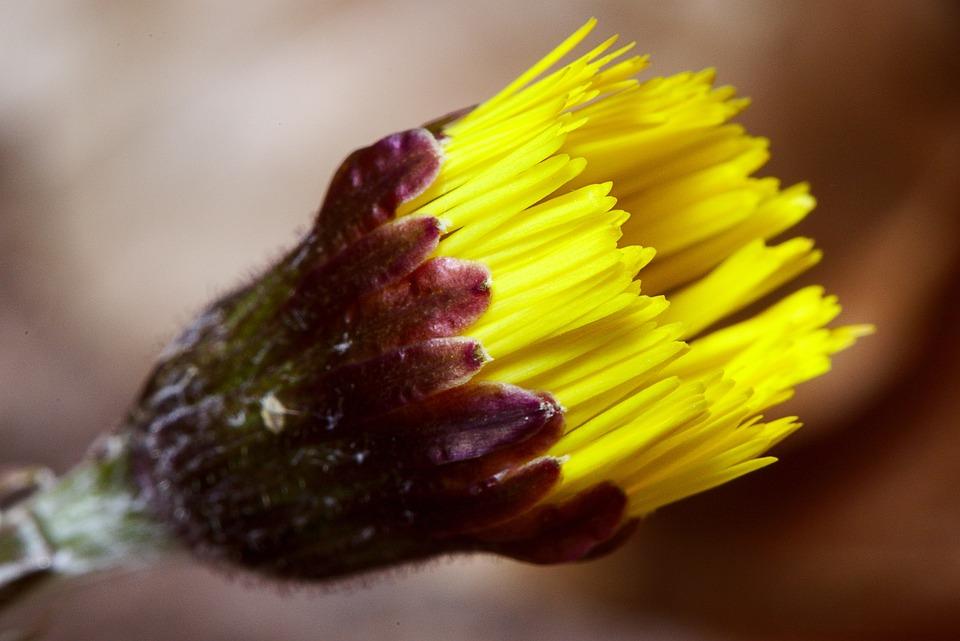 Tussilago Farfara, Blossom, Bloom, Forest, Yellow