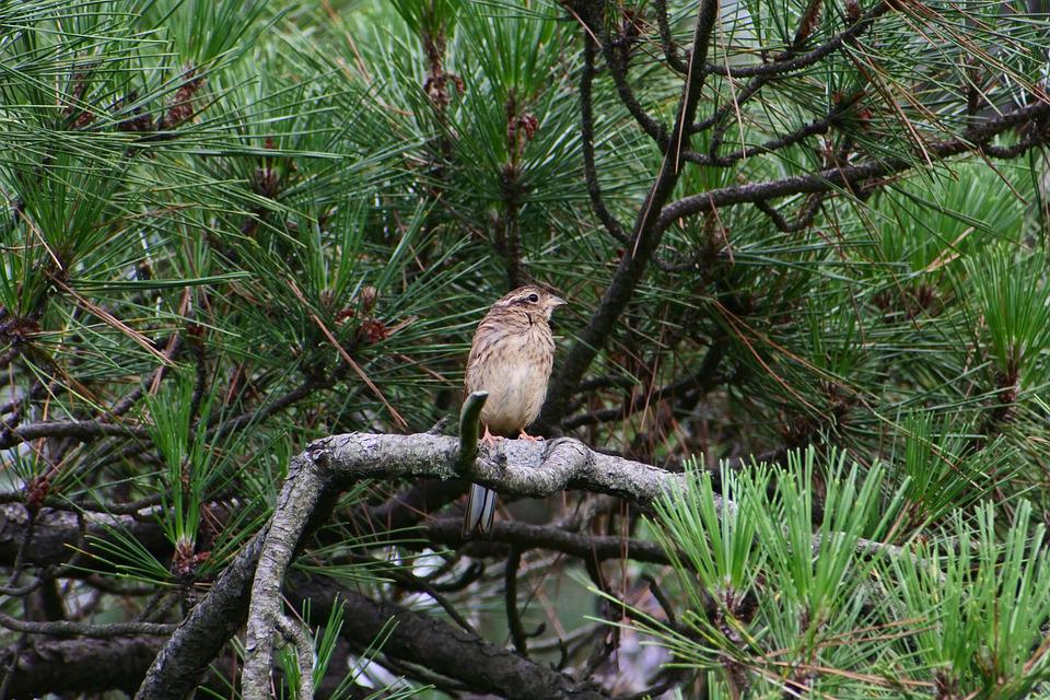 Animal, Forest, Pine, Branch, Little Bird, Bunting