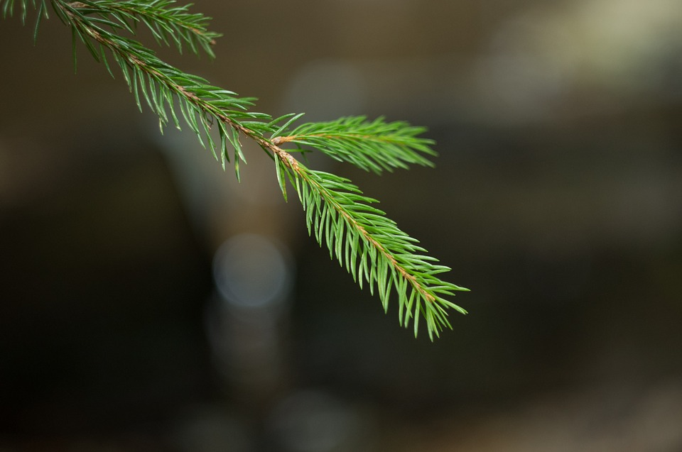 Spruce, Forest, Needles, Coniferous, Branches