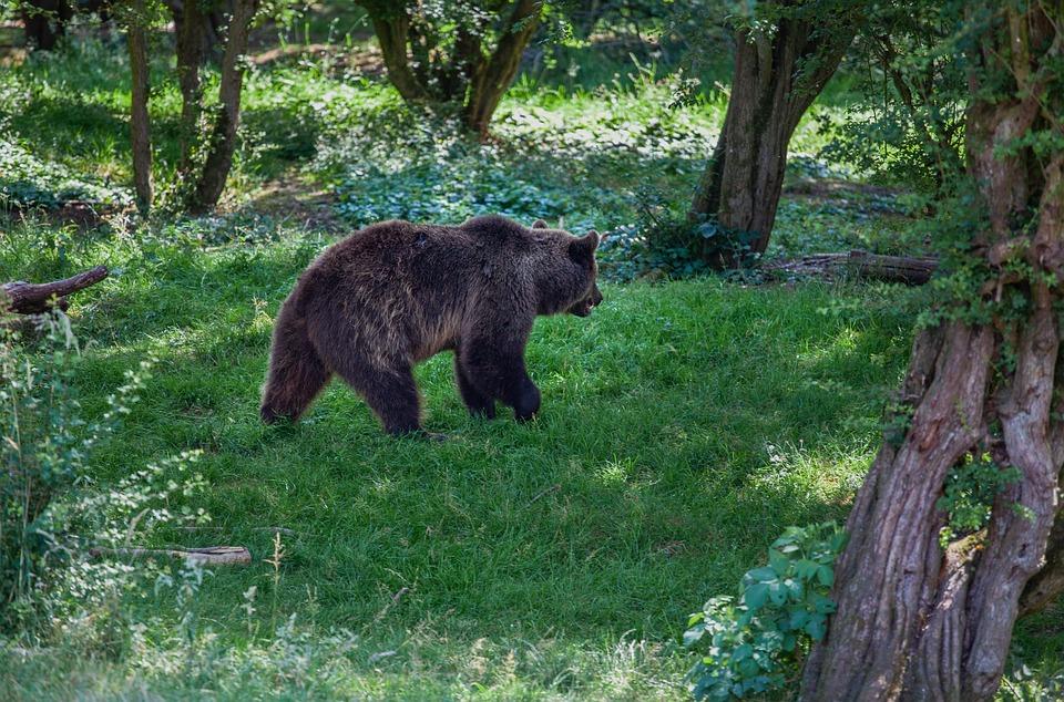 Brown Walking Through Trees, Brown Bear, Forest, Bear