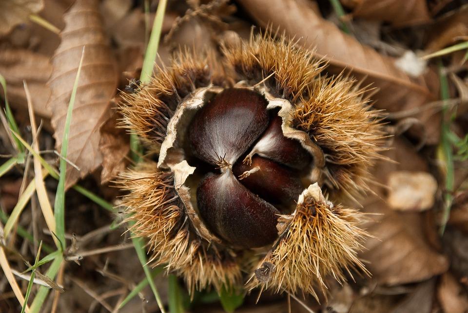 Chestnuts, Chestnut, Quills, Forest