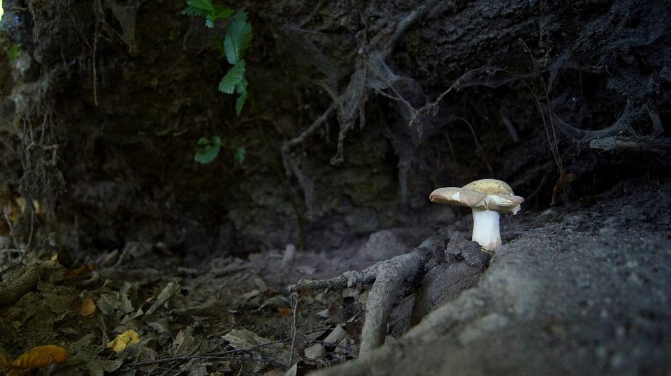 Mushroom, Forest, Nature, Cobweb, Roots, White Mushroom