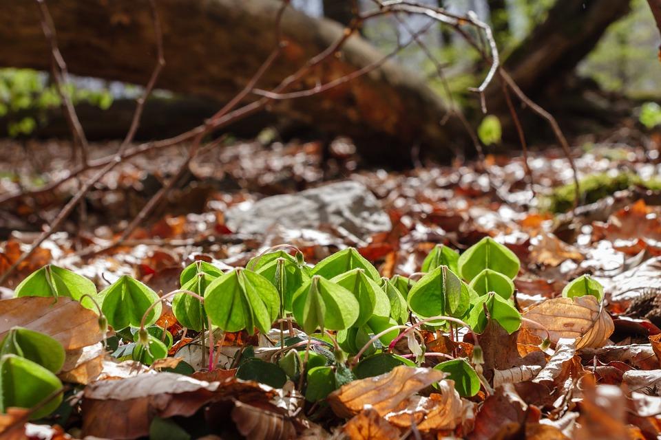 Common Wood Sorrel, Leaves, Forest, Forest Floor