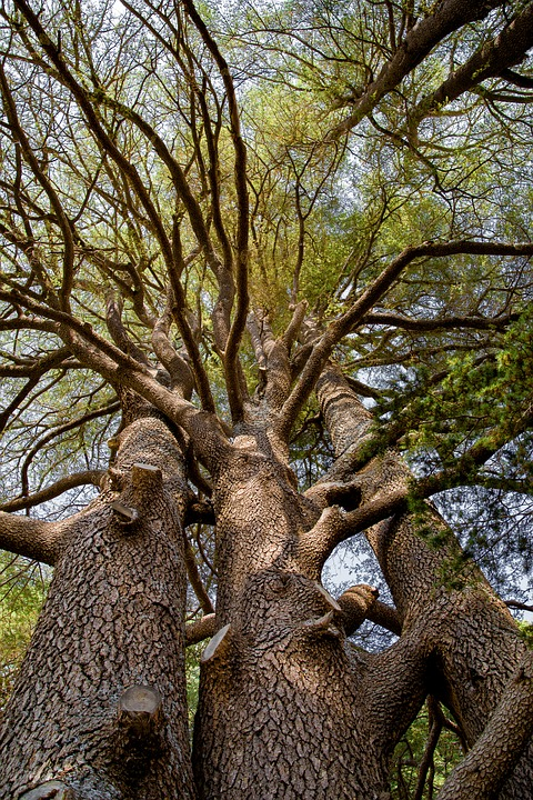 Tree, Cedar, Ancient, Wood, Forest, Countryside