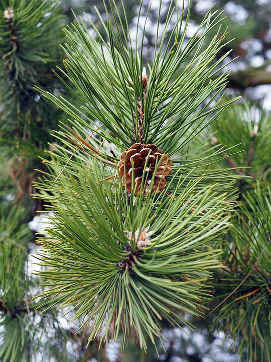 Forest, Cone, Evergreen Tree