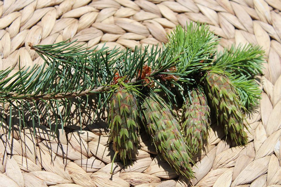 Cones, Summer, Cone, Forest, Needles, Evergreen Tree