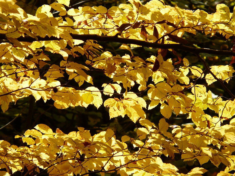 Beech, Fagus Sylvatica, Fagus, Forest, Golden Autumn