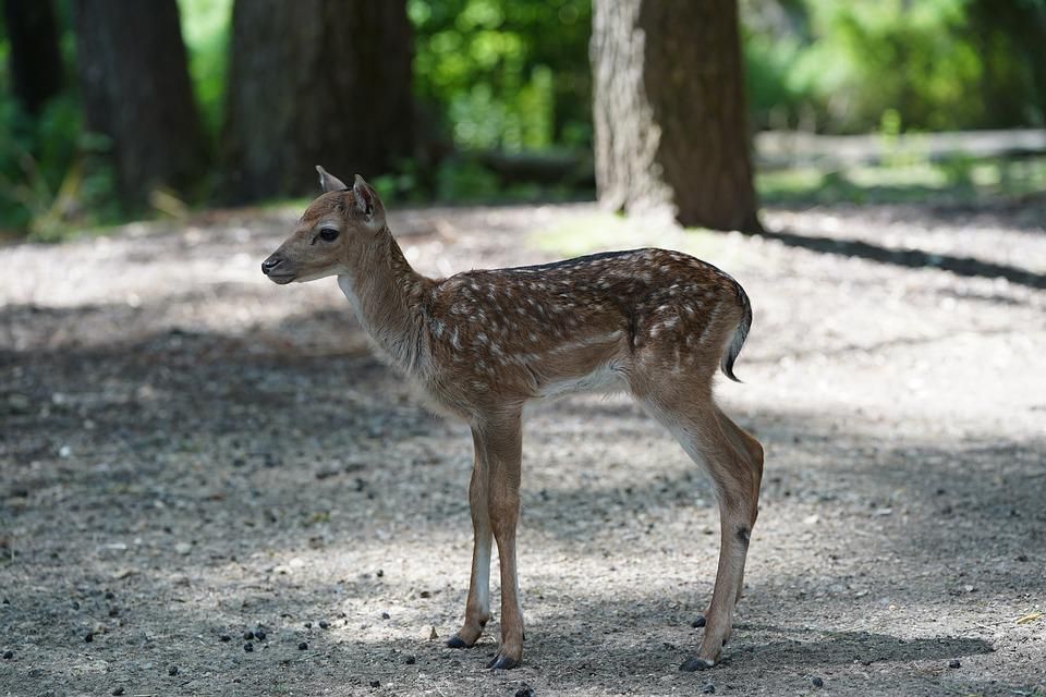 Roe Deer, Suckle, Cute, Fawn, Young, Kitz, Forest