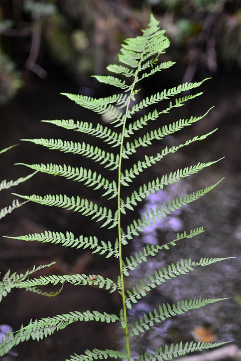 Forest, Fern, Close, Nature, Leaf Fern, Forest Plant