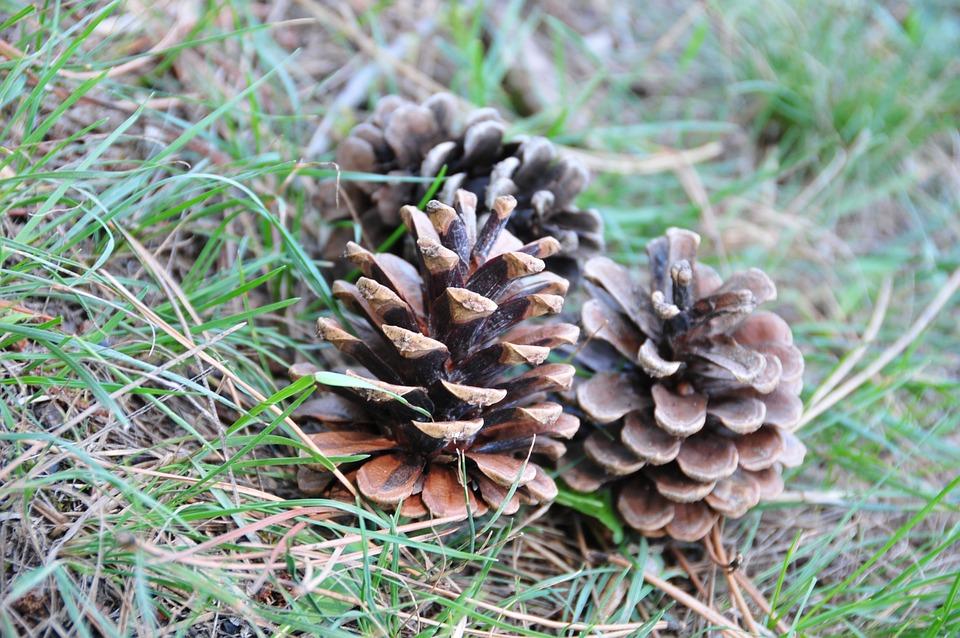 Pine, Cones, Nature, Fir, Forest, Ground, Grass
