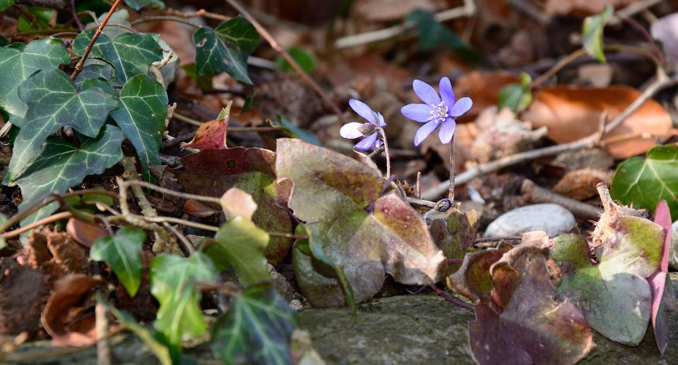 Forest Floor, Ground, Forest, Nature, Leaves, Ivy