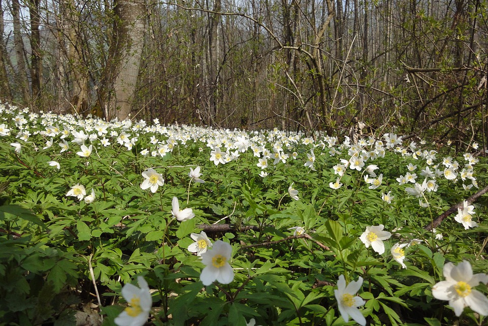 Wood Anemone, Nature, Forest, Flower, Anemone, Petals