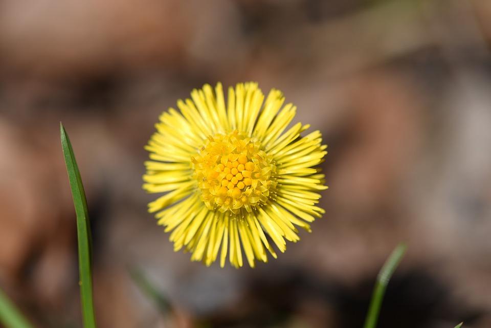 Tussilago Farfara, Flower, Plant, Forest Flower