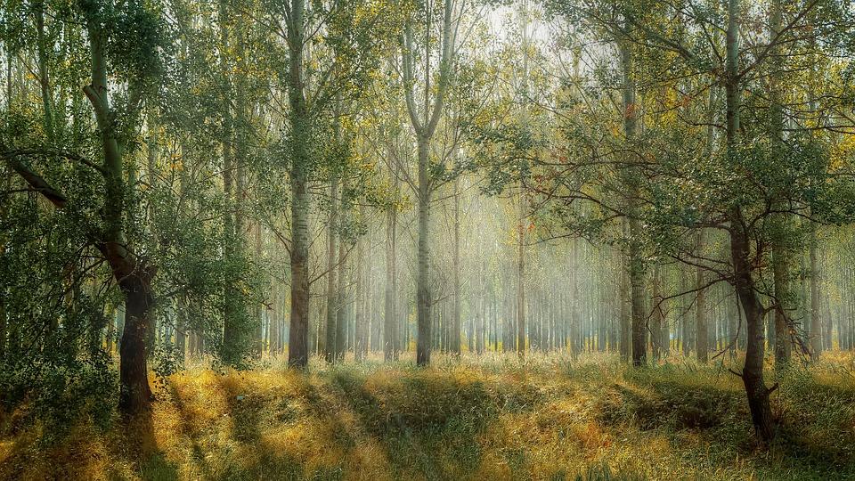 Forest, Trees, Sun Rays, Sunlight, Fog, Mist, Grasses