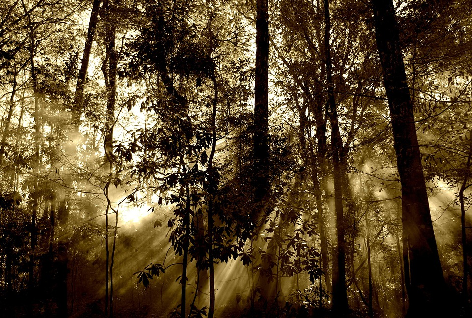 Forest, Sun, Rays, Fog, Nature, Tree, Beam