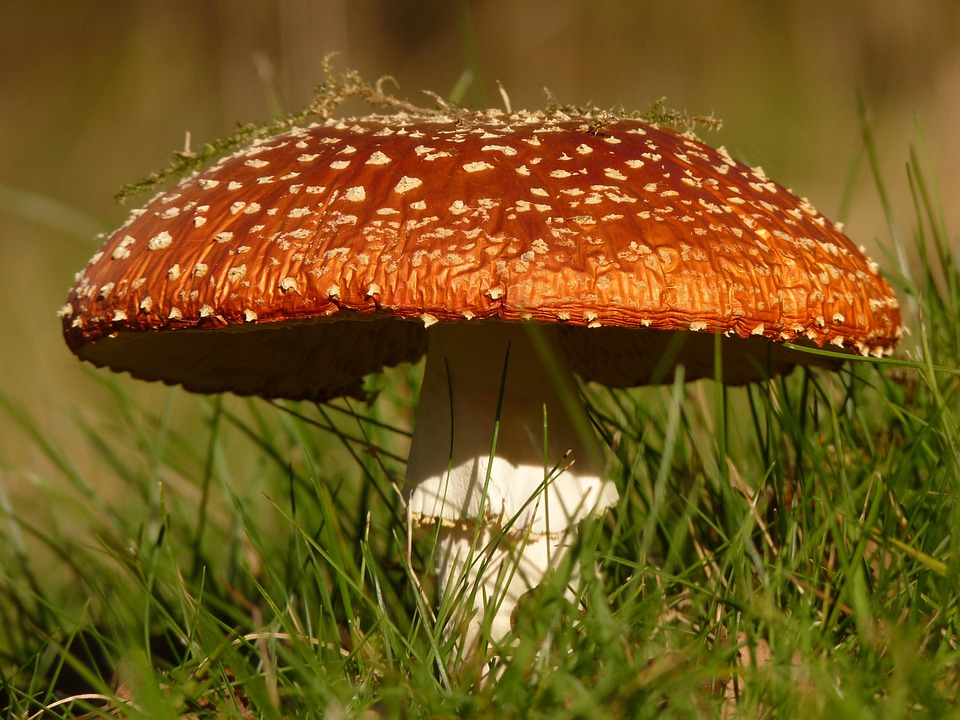 Fly Agaric, Mushroom, Gift, Toxic, Nature, Forest, Red
