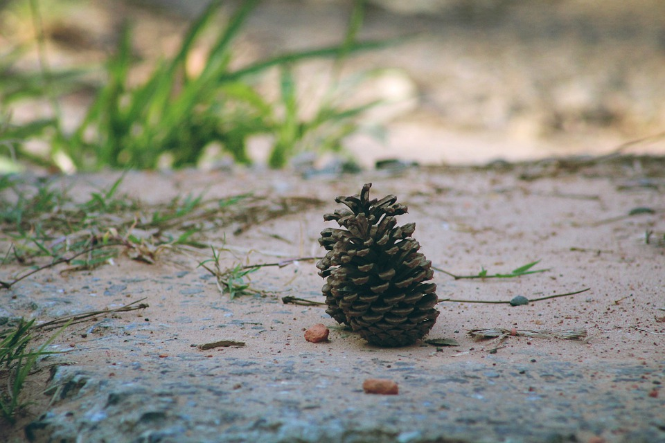 Cone, Pinheiro, Nature, Tree, Christmas, Forest, Green