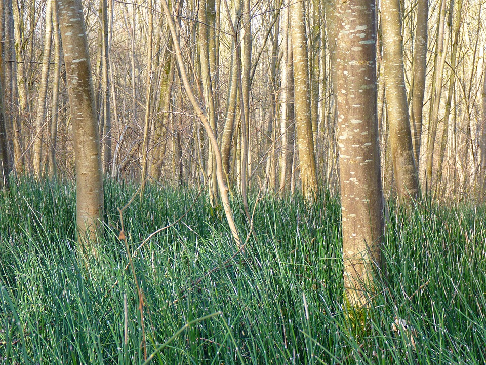 Horsetail, Marsh Plant, Forest, Green