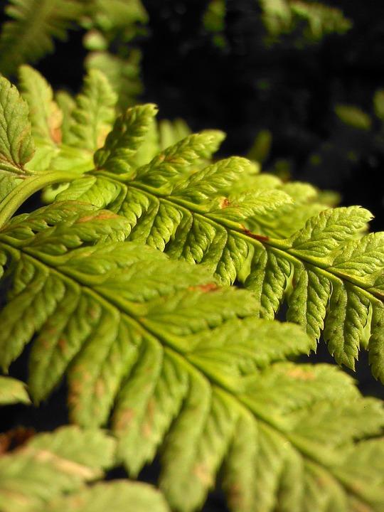 Fern, Green, Macro, Forest, Greens, Plant